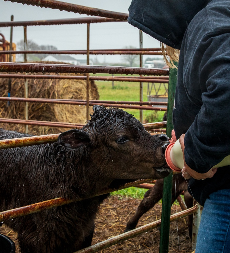 A person bottle feeding a calf
