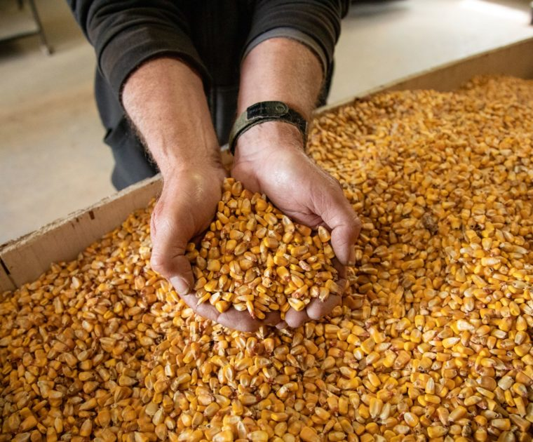 Person scooping up kernels of corn