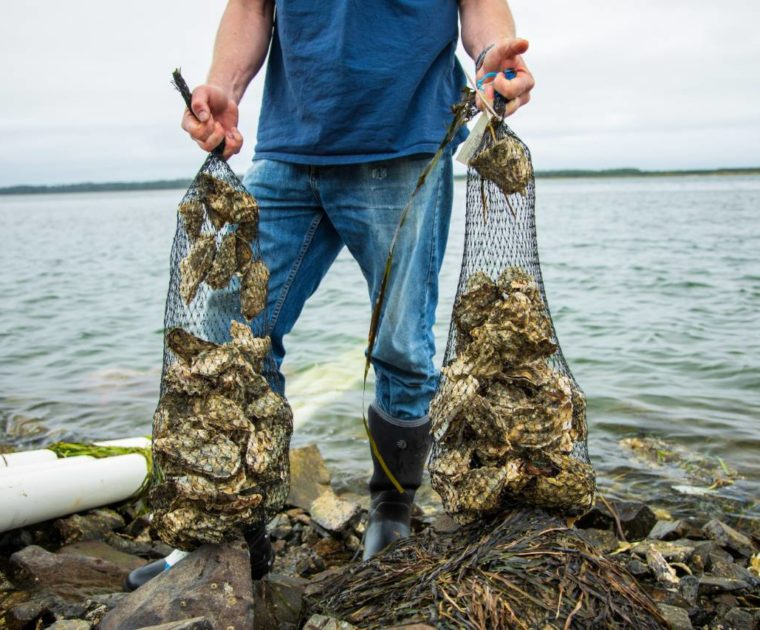 Alan Barton, manager of Whiskey Creek Shellfish Hatchery, holds bags of adult oysters as he stands in front of Netarts Bay.