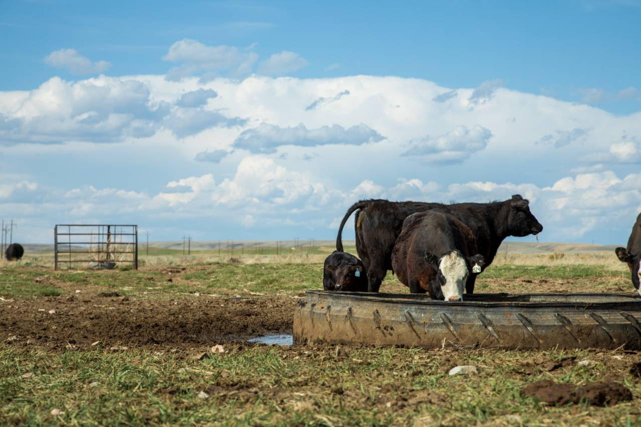 Cattle in Wyoming.