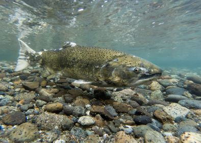 Close-up of a Chinook salmon during spawning