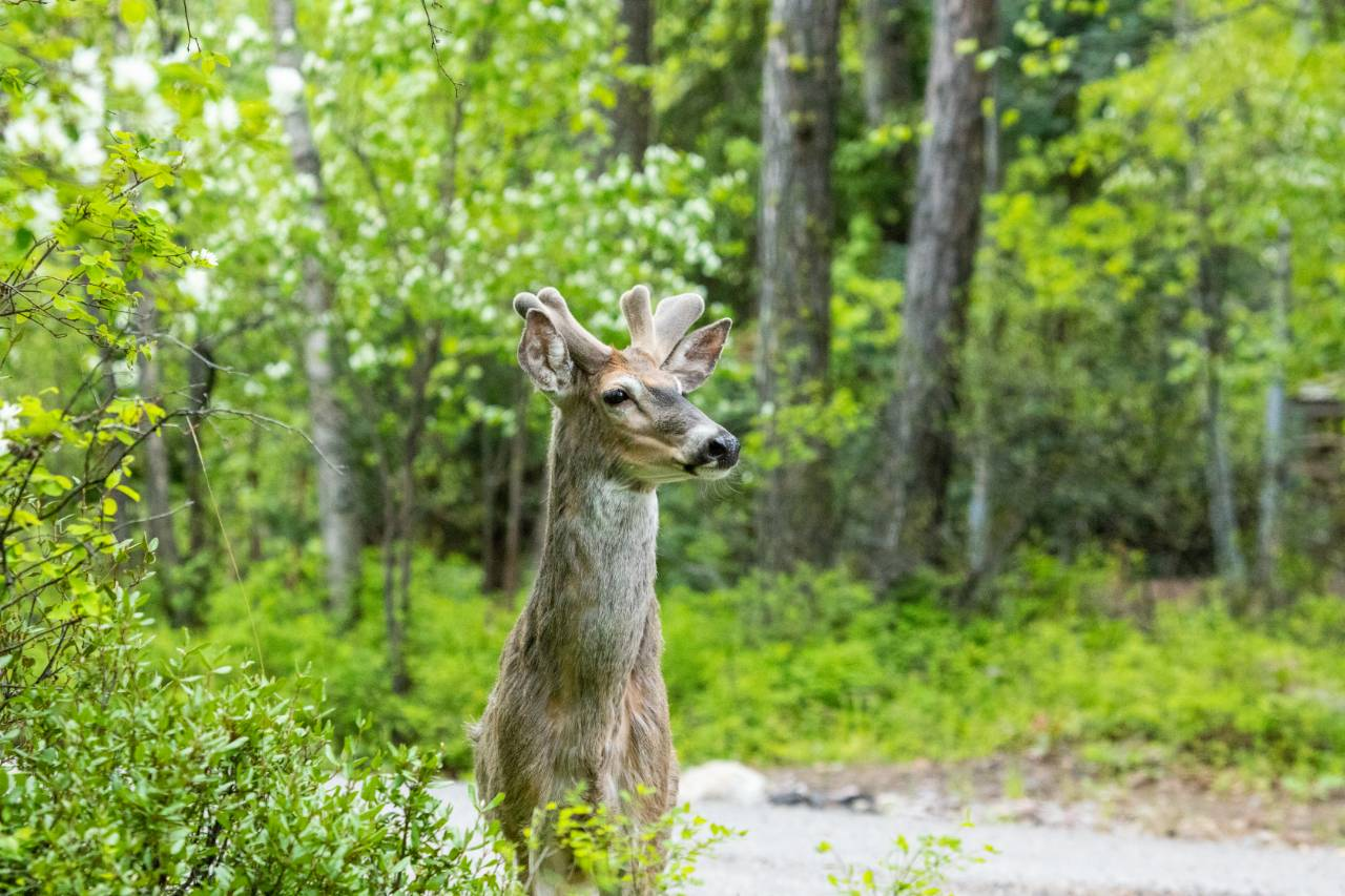 A white-tailed deer stands alert in the city of Whitefish, Montana. Credit: Impact Media Lab / AAAS